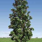 Magnolia Tree (1) 3d model