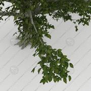 American beech (Fagus grandifolia)mature 3d model