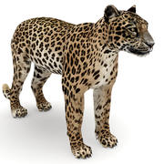 Leopardo 3d model
