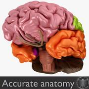 Hersenen 3d model