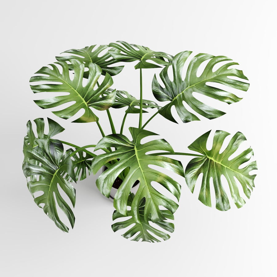 Monstera Plants (+GrowFX) royalty-free 3d model - Preview no. 5