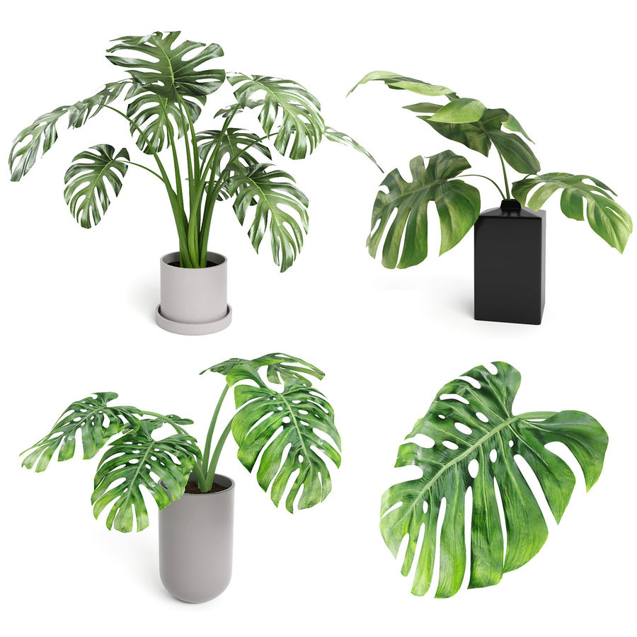 Monstera Plants (+GrowFX) royalty-free 3d model - Preview no. 2