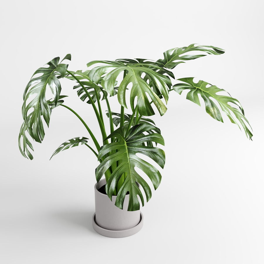 Monstera Plants (+GrowFX) royalty-free 3d model - Preview no. 3