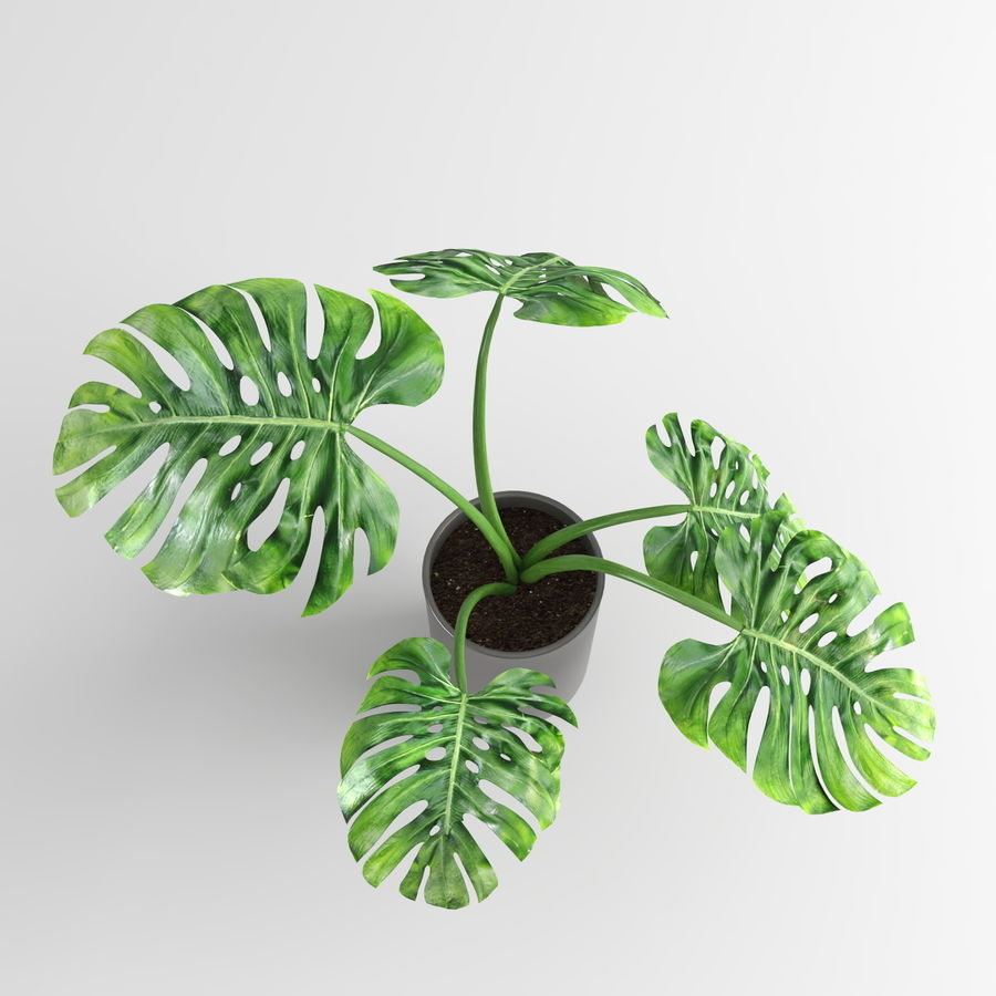 Plantes Monstera (+ GrowFX) royalty-free 3d model - Preview no. 8