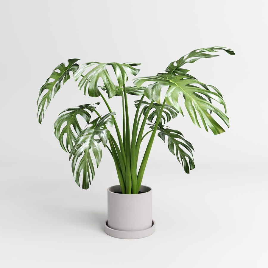 Monstera Plants (+GrowFX) royalty-free 3d model - Preview no. 4