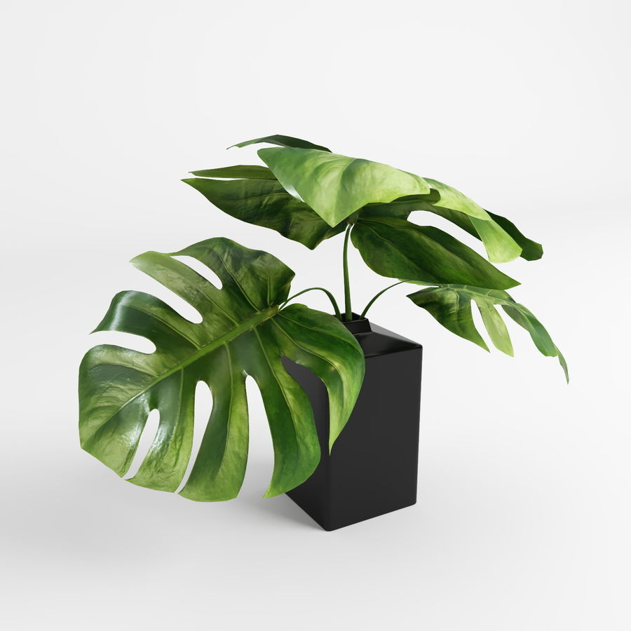 Plantes Monstera (+ GrowFX) royalty-free 3d model - Preview no. 9