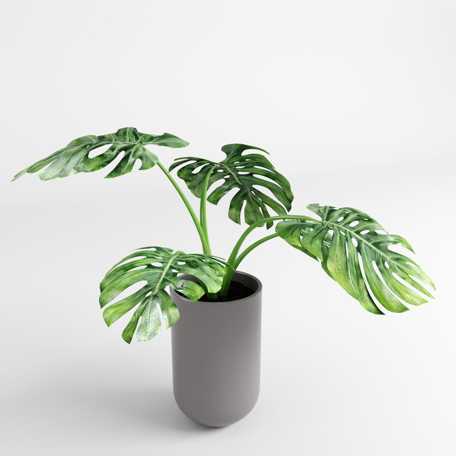 Plantes Monstera (+ GrowFX) royalty-free 3d model - Preview no. 7