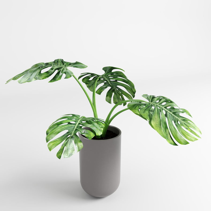 Monstera Plants royalty-free 3d model - Preview no. 7