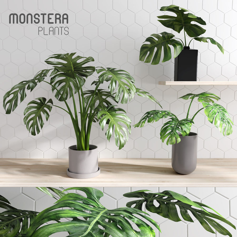 Monstera Plants (+GrowFX) royalty-free 3d model - Preview no. 1