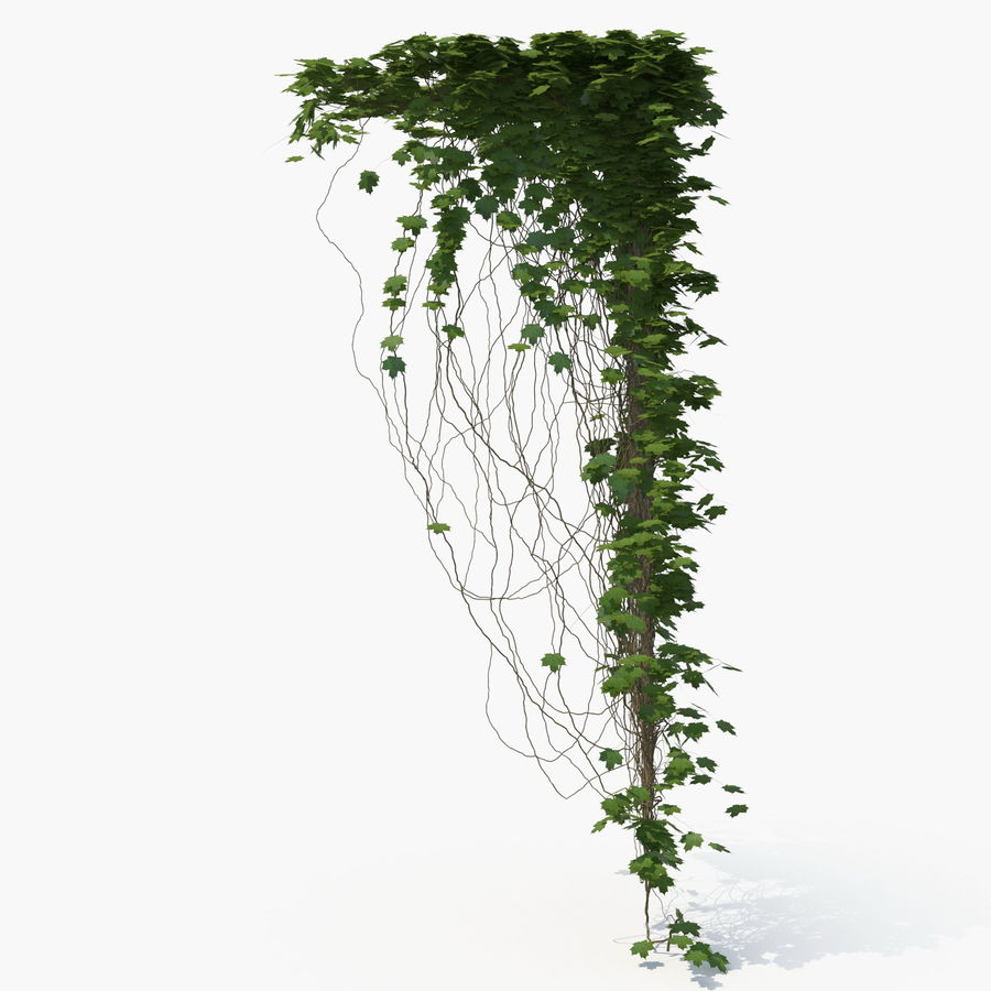 Ivy royalty-free 3d model - Preview no. 5