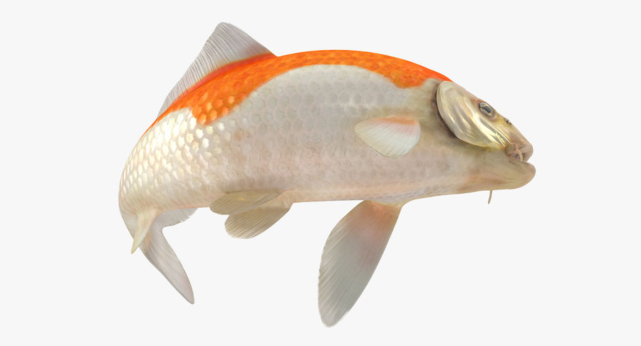 Harivake Koi Fish Swiming Pose royalty-free 3d model - Preview no. 7
