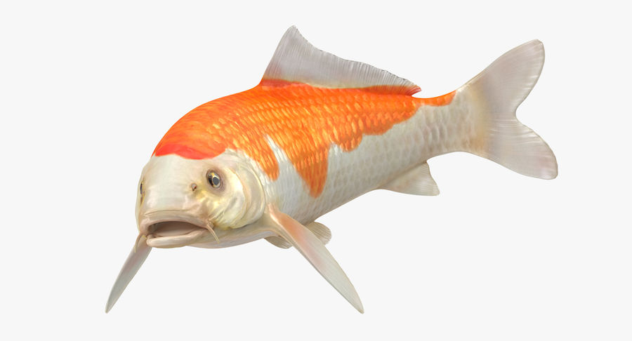 Harivake Koi Fish Swiming Pose royalty-free 3d model - Preview no. 6