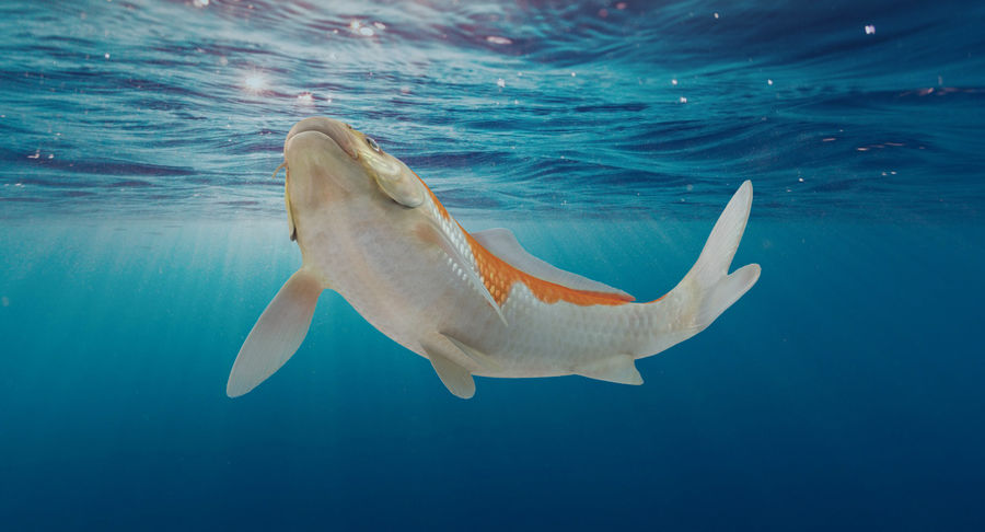 Harivake Koi Fish Swiming Pose royalty-free 3d model - Preview no. 3