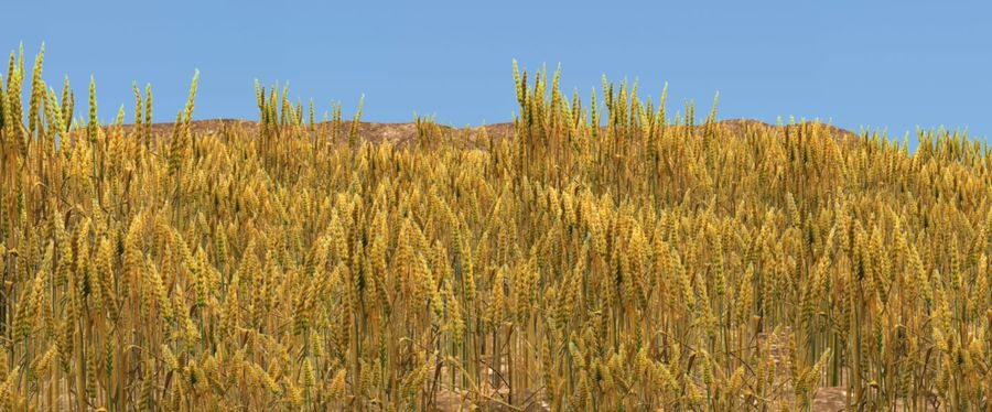 campo de trigo. royalty-free 3d model - Preview no. 1