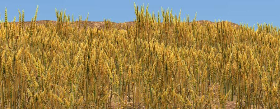 campo de trigo. royalty-free 3d model - Preview no. 4