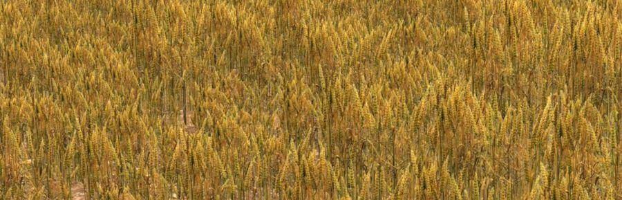 campo de trigo. royalty-free 3d model - Preview no. 5