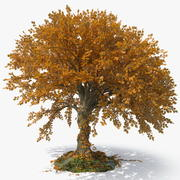 Big Leaf Maple 3d model