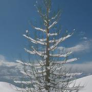 雪に覆われた松2 3d model