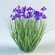 iris sibirica Siberian iris 3d model