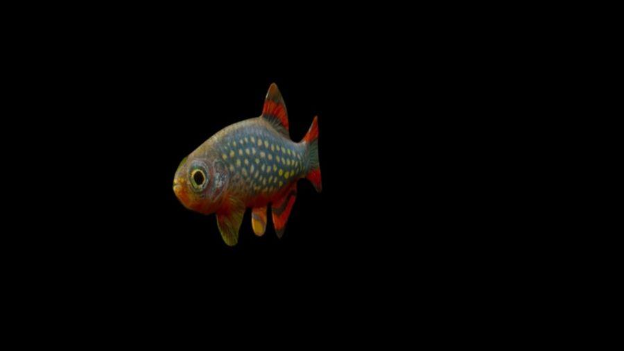 peces de acuario 3 royalty-free modelo 3d - Preview no. 2