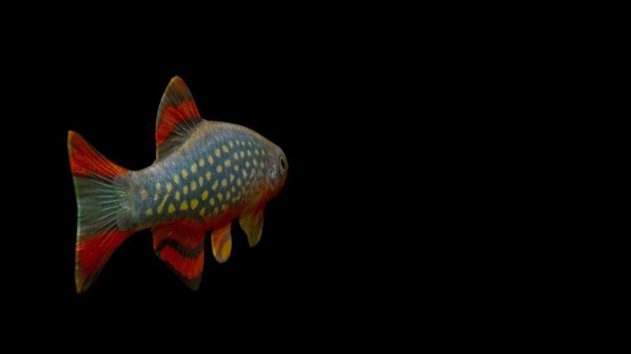 peces de acuario 3 royalty-free modelo 3d - Preview no. 4