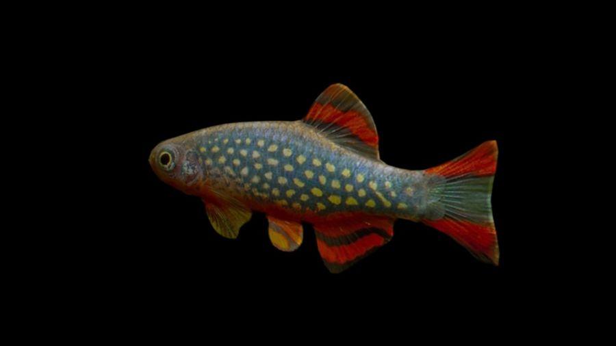 peces de acuario 3 royalty-free modelo 3d - Preview no. 3