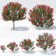 Nerium Oleander Collection 3d model