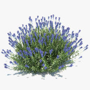 True Lavender Plant 3d model