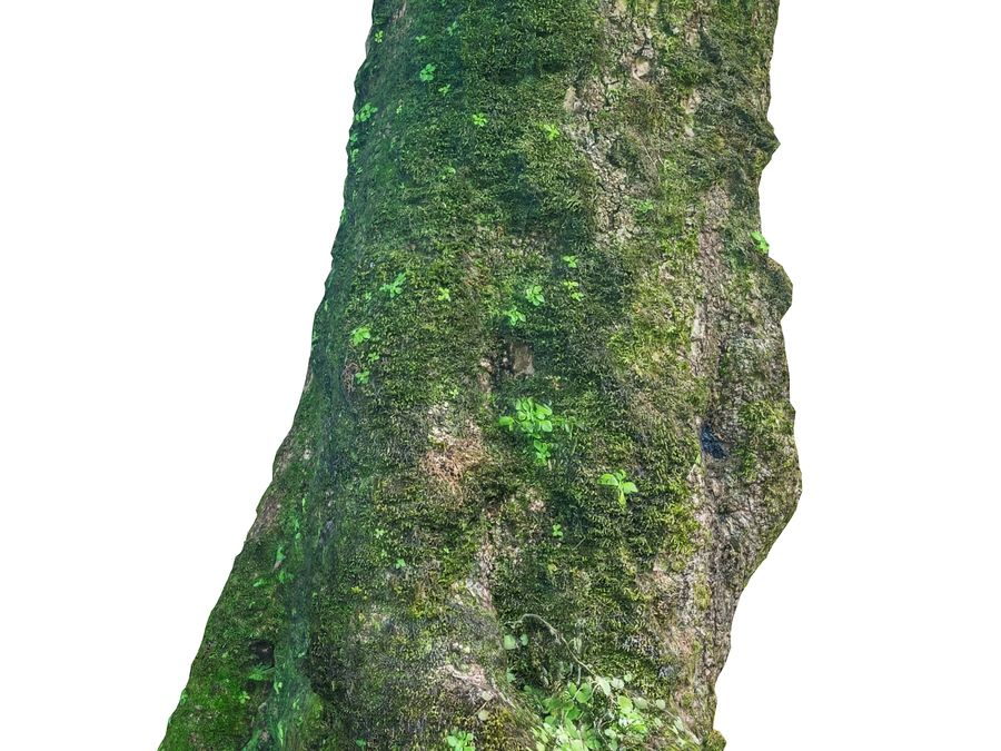 Albero della foresta di alloro 16K royalty-free 3d model - Preview no. 5