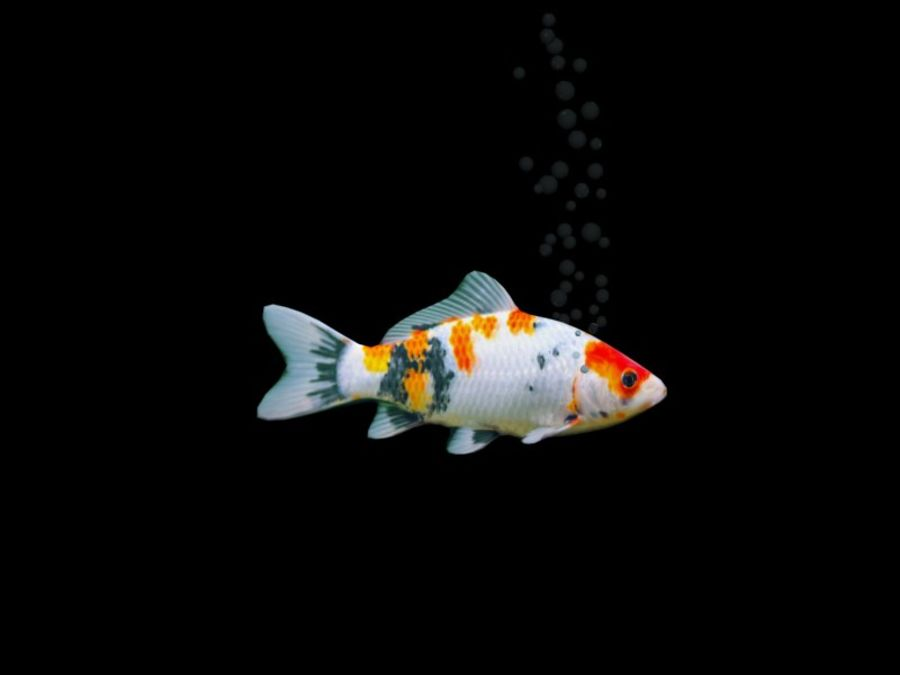 水族館の魚のアニメ royalty-free 3d model - Preview no. 1