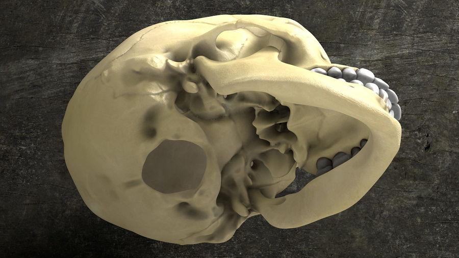 Os de crâne humain Anatomie simple royalty-free 3d model - Preview no. 3
