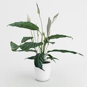 Spathiphyllum Plant 3d model