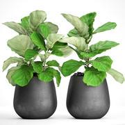 Ficus Lyrata Bäume 3d model