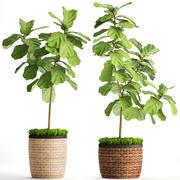 Ficus Lyrata Trees (2) 3d model