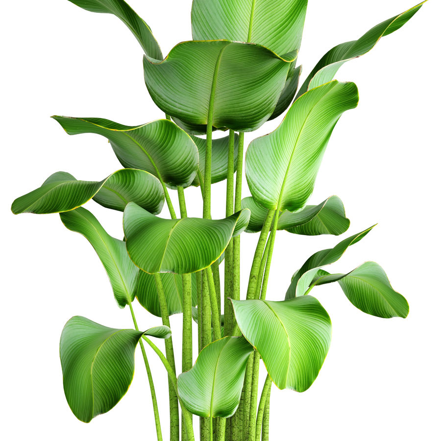 plants banana royalty-free 3d model - Preview no. 4