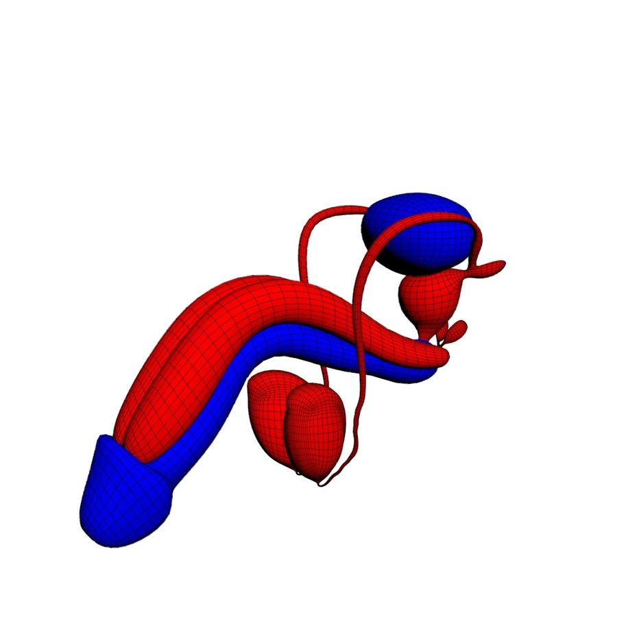 Menselijk mannelijk voortplantingssysteem 3D royalty-free 3d model - Preview no. 1