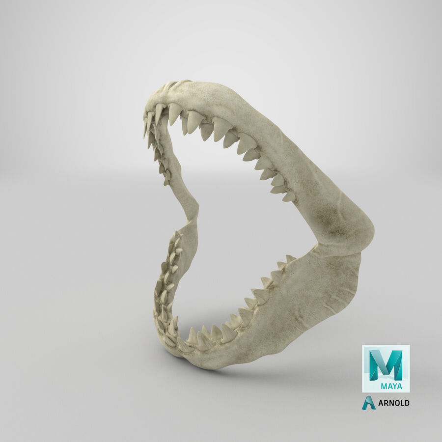 Great White Shark Jaw Bone 3D Model royalty-free 3d model - Preview no. 28