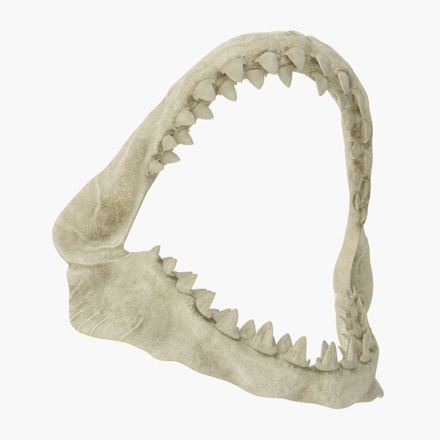 Great White Shark Jaw Bone royalty-free 3d model - Preview no. 5