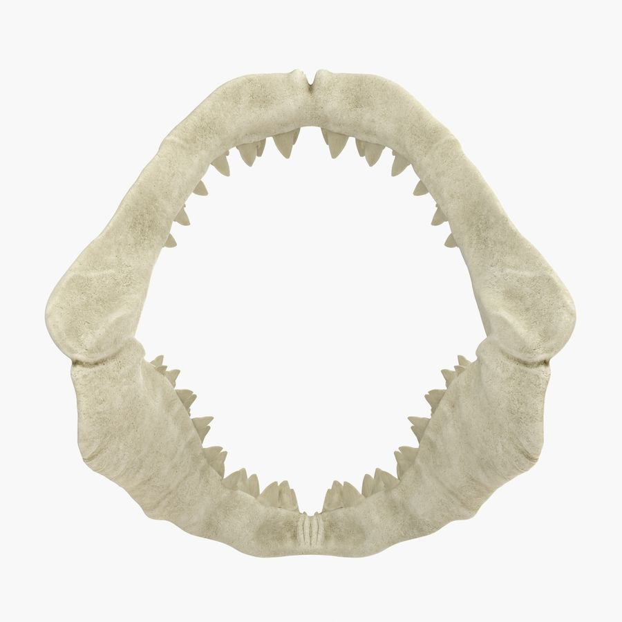 Great White Shark Jaw Bone royalty-free 3d model - Preview no. 6