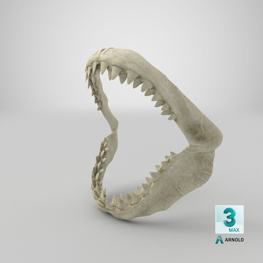 Great White Shark Jaw Bone 3D Model royalty-free 3d model - Preview no. 25