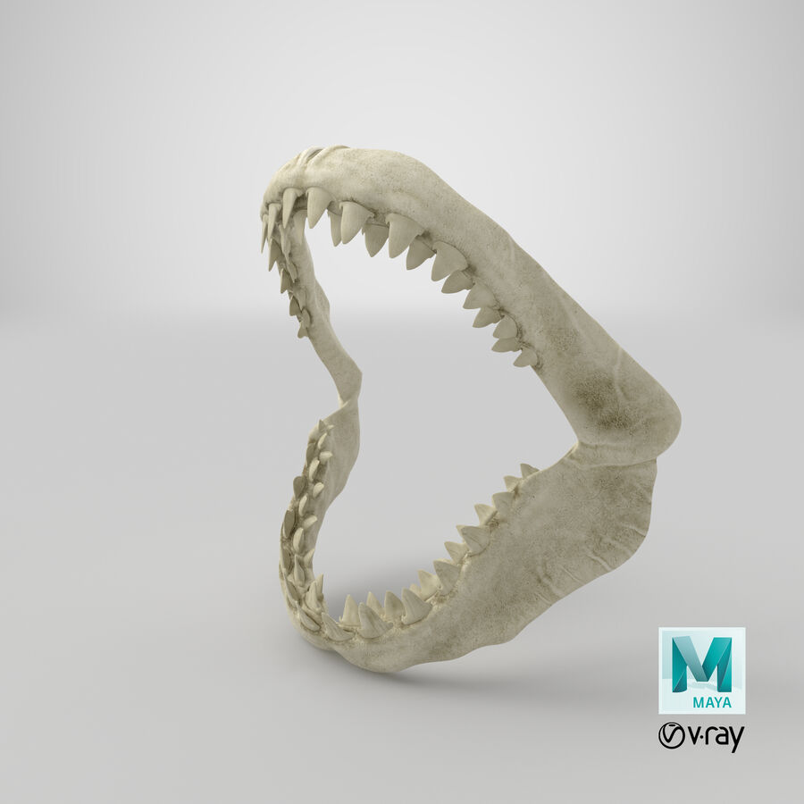 Great White Shark Jaw Bone 3D Model royalty-free 3d model - Preview no. 30