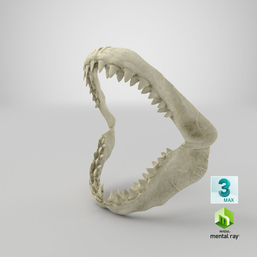 Great White Shark Jaw Bone 3D Model royalty-free 3d model - Preview no. 26