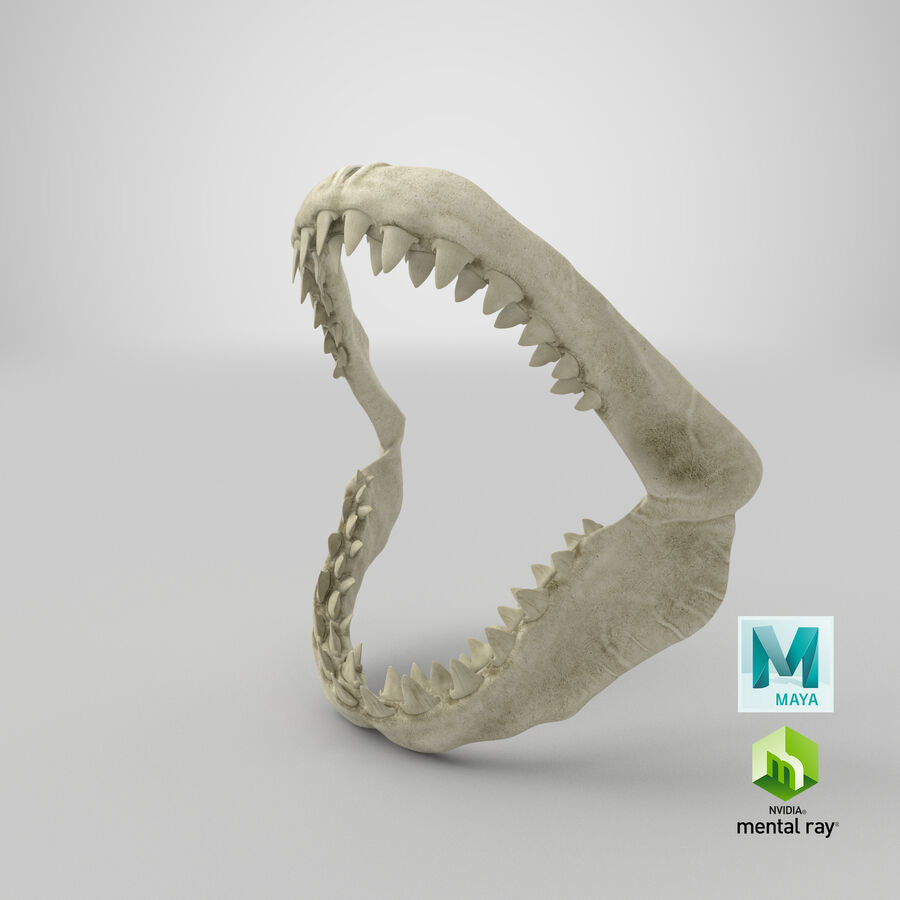 Great White Shark Jaw Bone 3D Model royalty-free 3d model - Preview no. 29