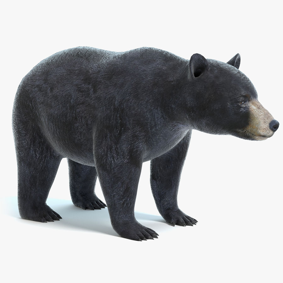 Black Bear royalty-free 3d model - Preview no. 1