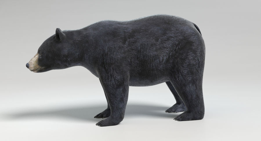 Black Bear royalty-free 3d model - Preview no. 7