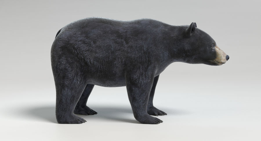 Black Bear royalty-free 3d model - Preview no. 4