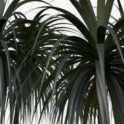 Plant Dracena Arborea 3d model