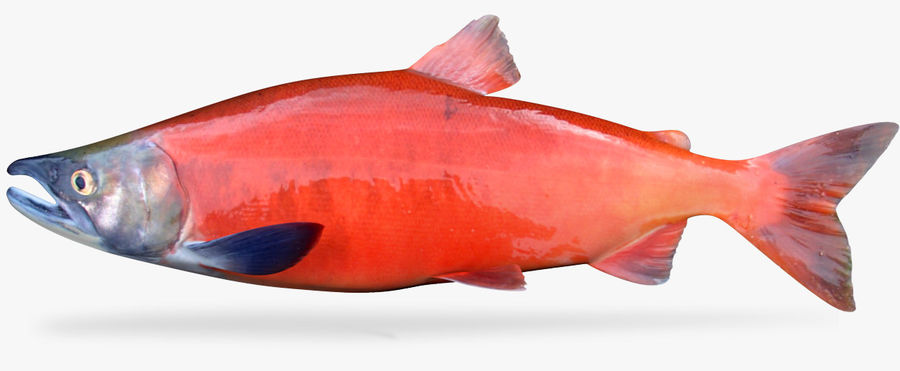 Lachs royalty-free 3d model - Preview no. 1