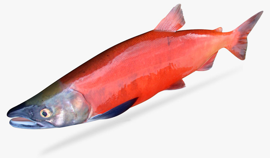 Lachs royalty-free 3d model - Preview no. 3