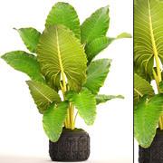 Alocasia macrorrhiza 3d model